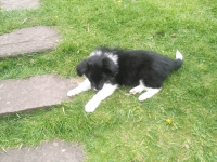 8 Week old puppies - Photo 7